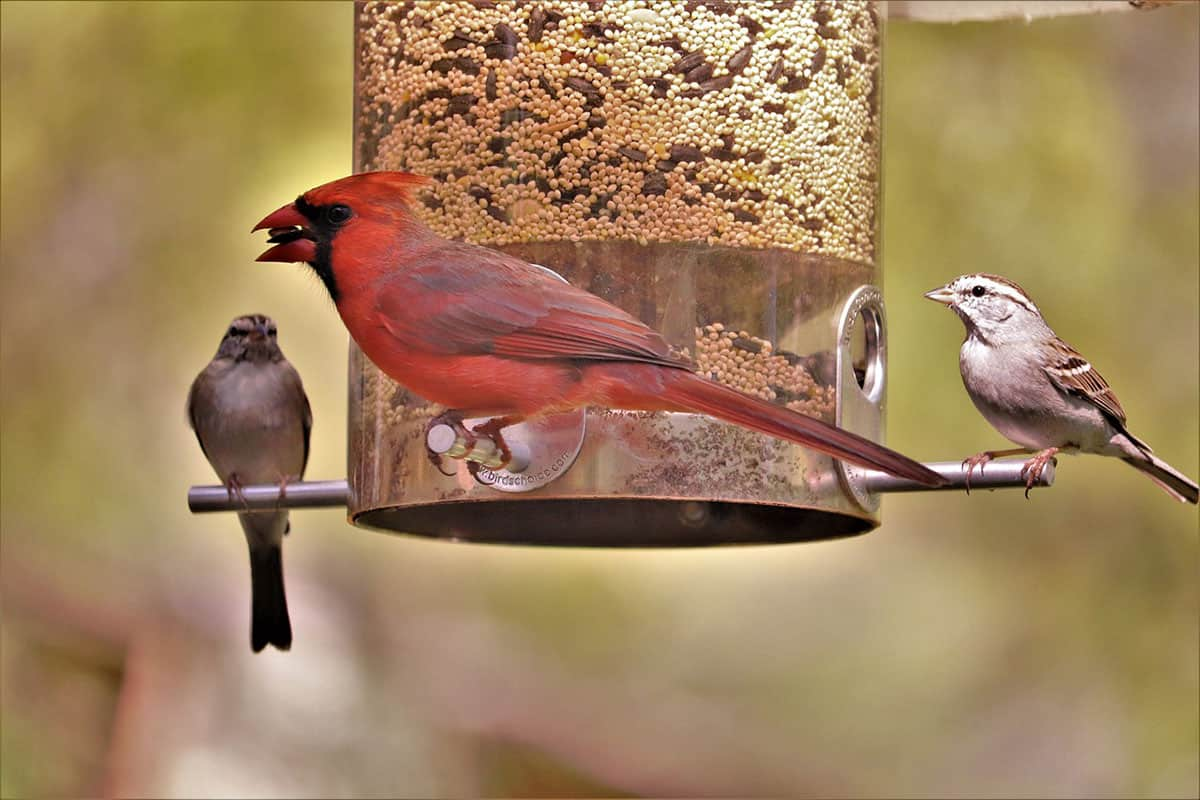 cardinal eating bird seed