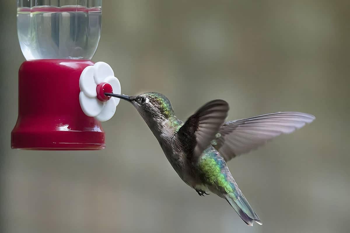 Hummingbird Nectar Without Boiling