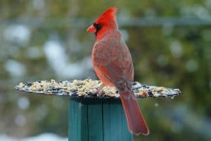 What is the Best Type of Bird Feeder for Cardinals?