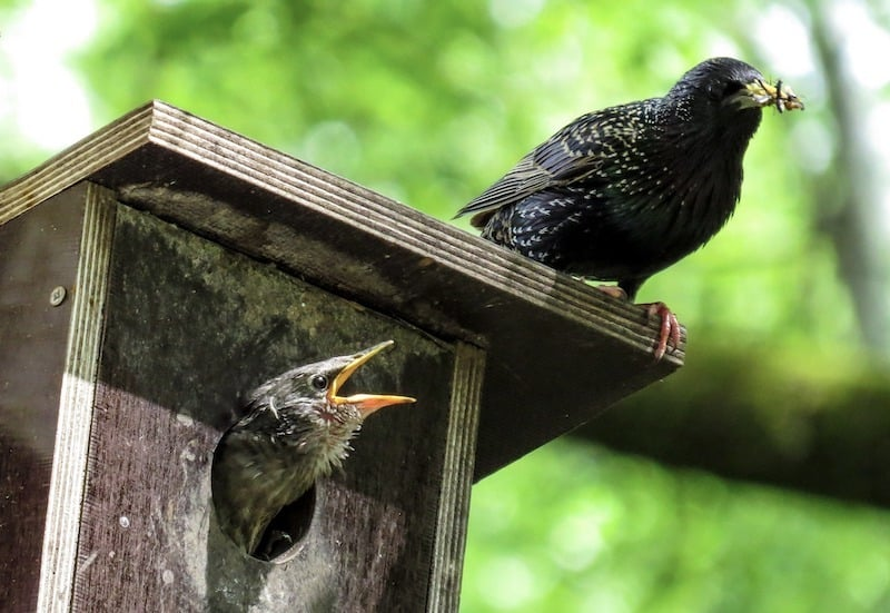 How to Get Rid of Starlings at Feeders (7 Easy Tips ...