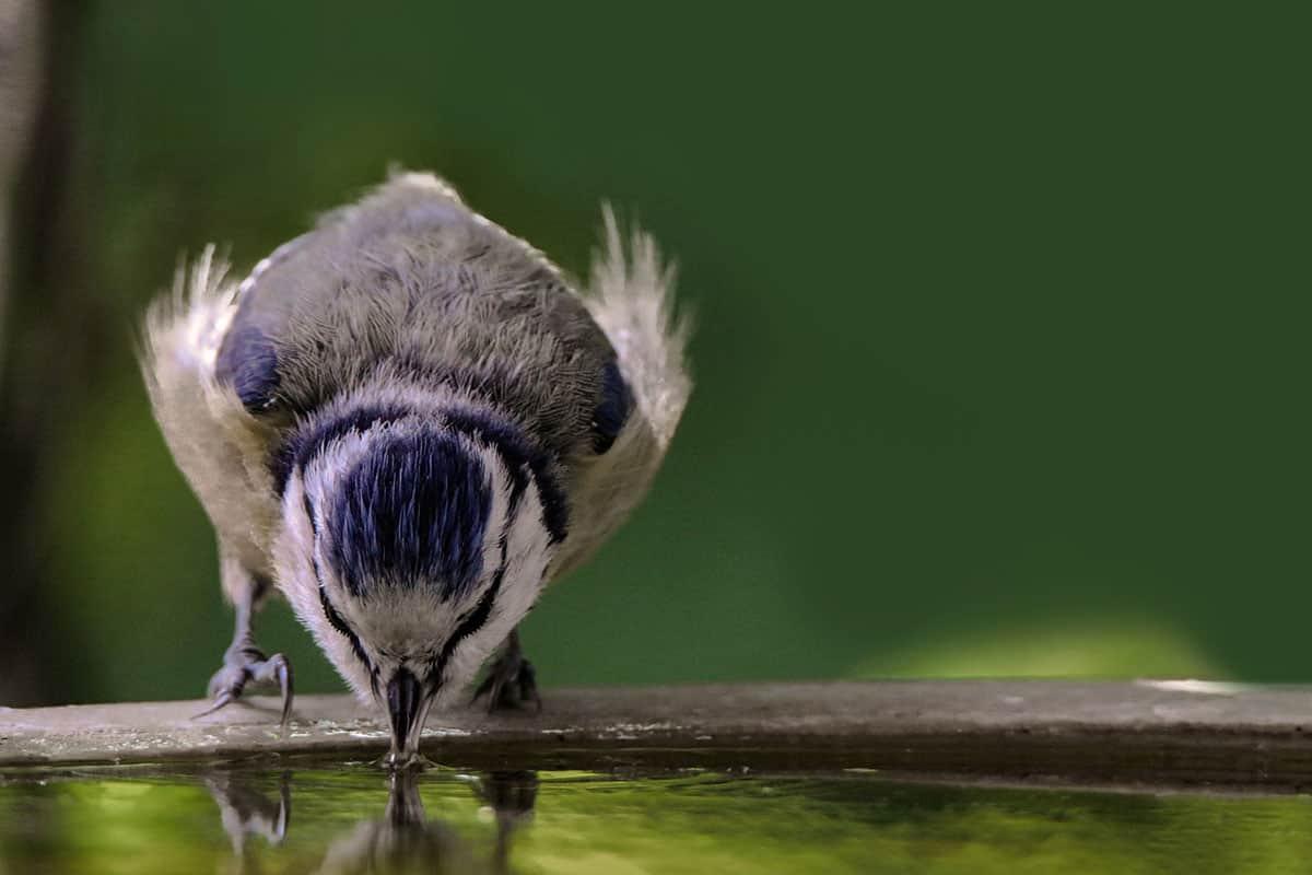 bird drinking from bird bath