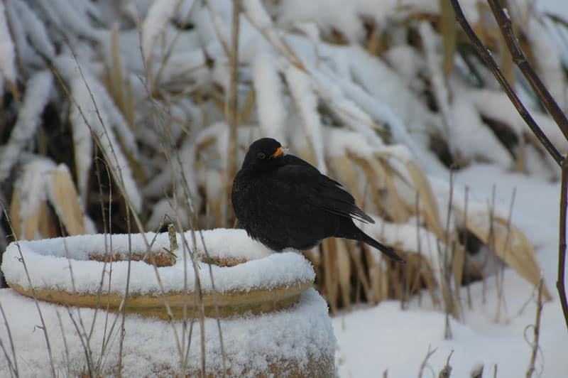 bird at bird bath in the snow