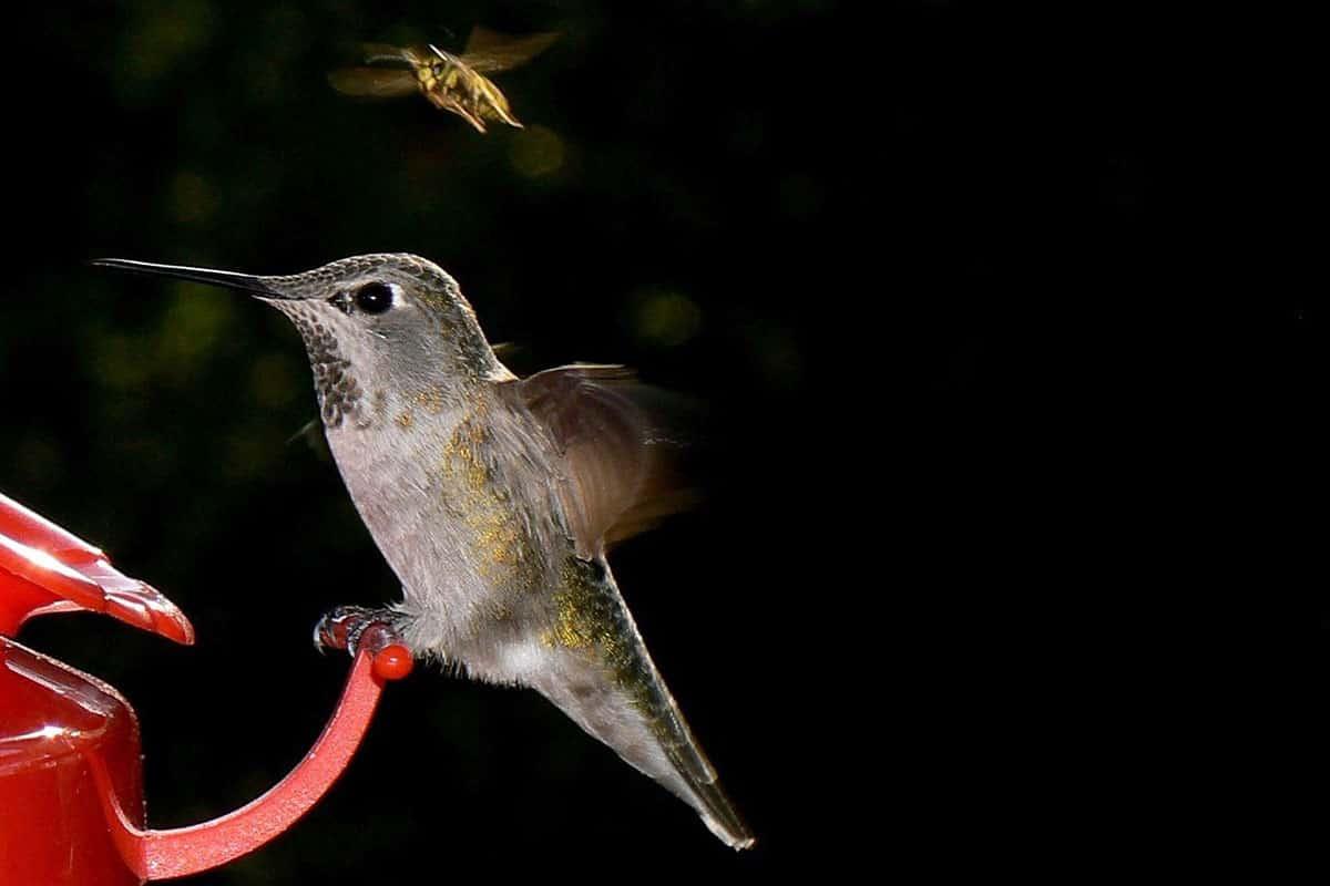hummingbird at feeder with bee