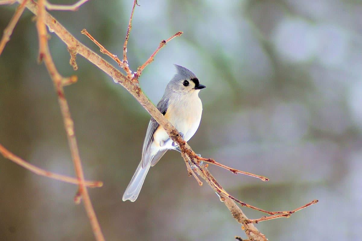 titmouse in a tree