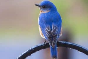 Best Bird Feeders for Bluebirds (5 Great Options)