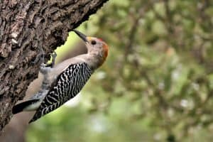 17 Woodpecker Species of North America (Pictures)