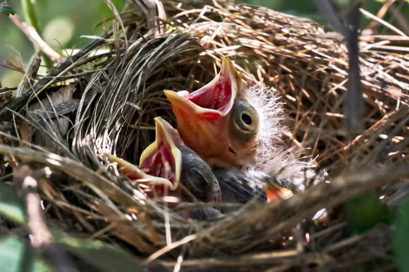 baby cardinals in nest