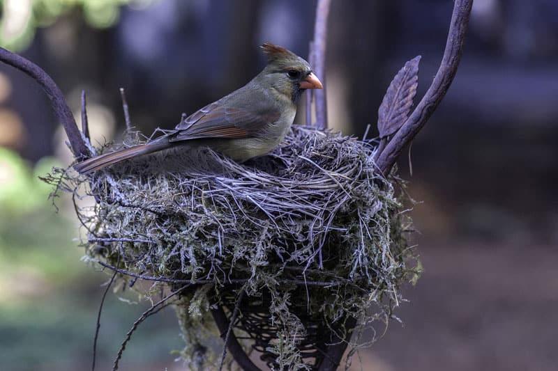 cardinal at nest