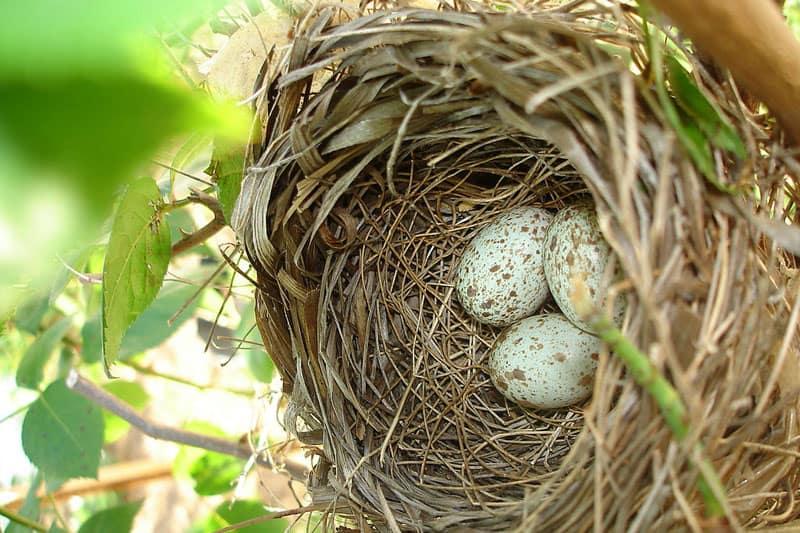cardinal nest with eggs