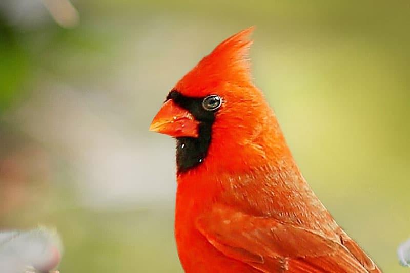 close up of male cardinal's orange beak