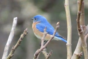 20 Awesome Facts About Eastern Bluebirds