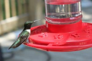 When to Put Out Hummingbird Feeders in Each State