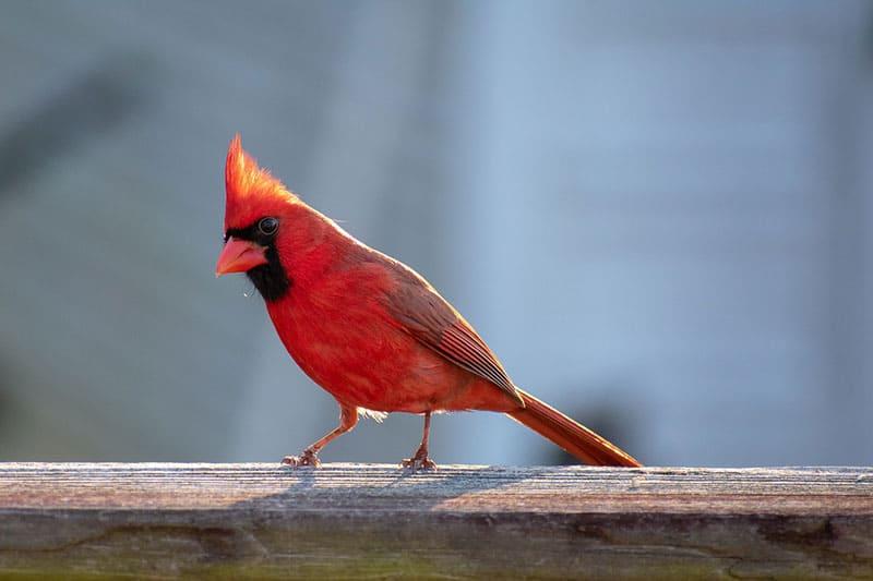 male cardinal on deck railing