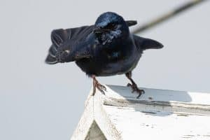 The Best Bird Houses For Purple Martins