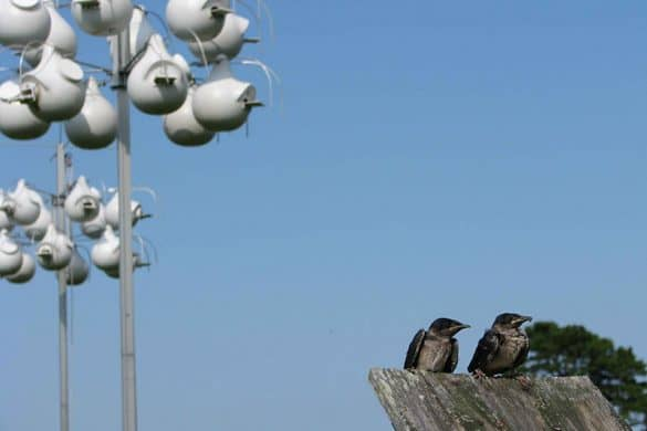 purple martins and gourds in background