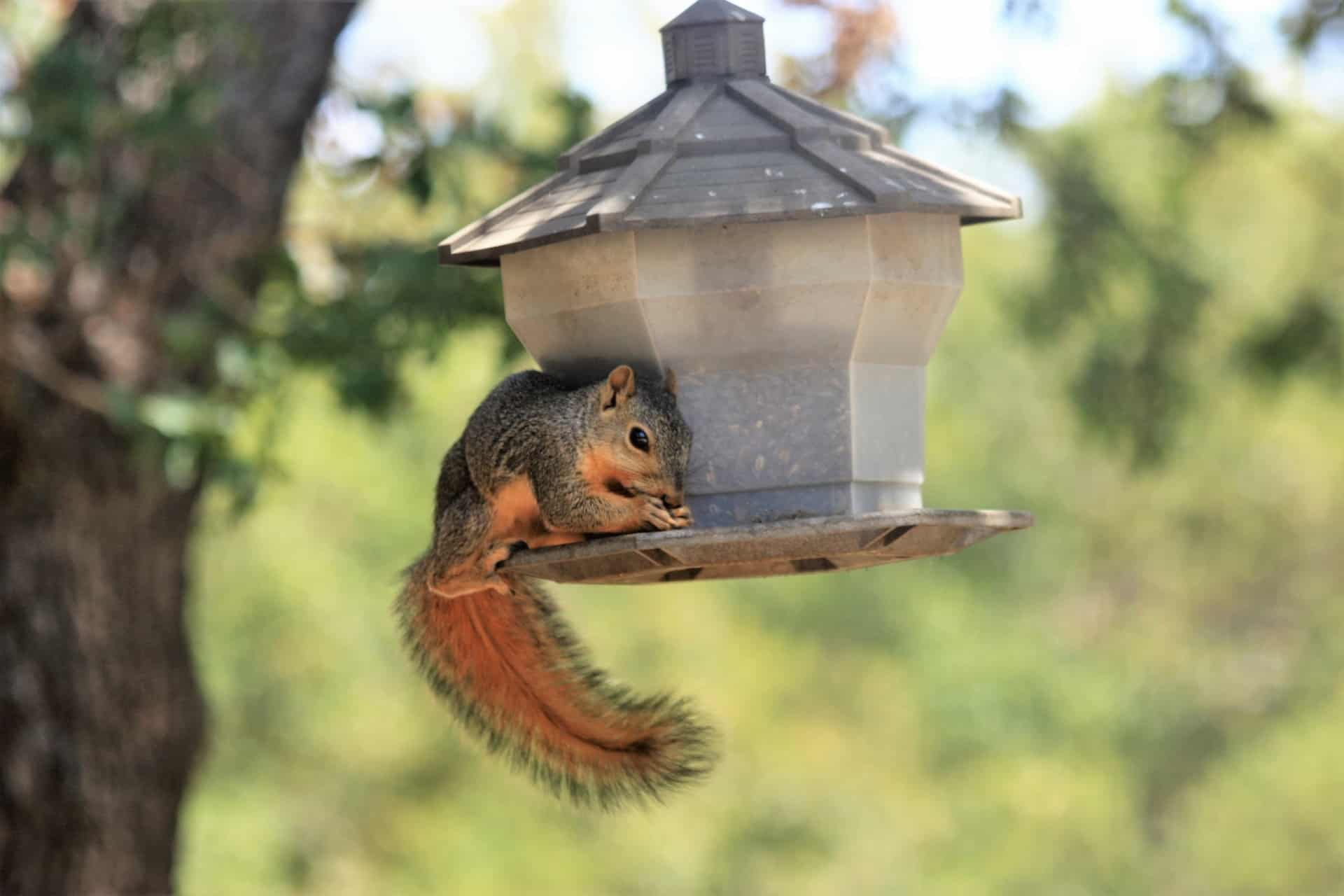 squirrel-on-bird-feeder