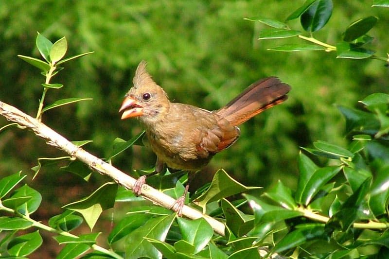 young cardinal not yet red