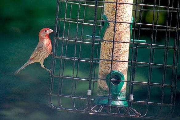 Is It Harmful to Feed Backyard Birds?