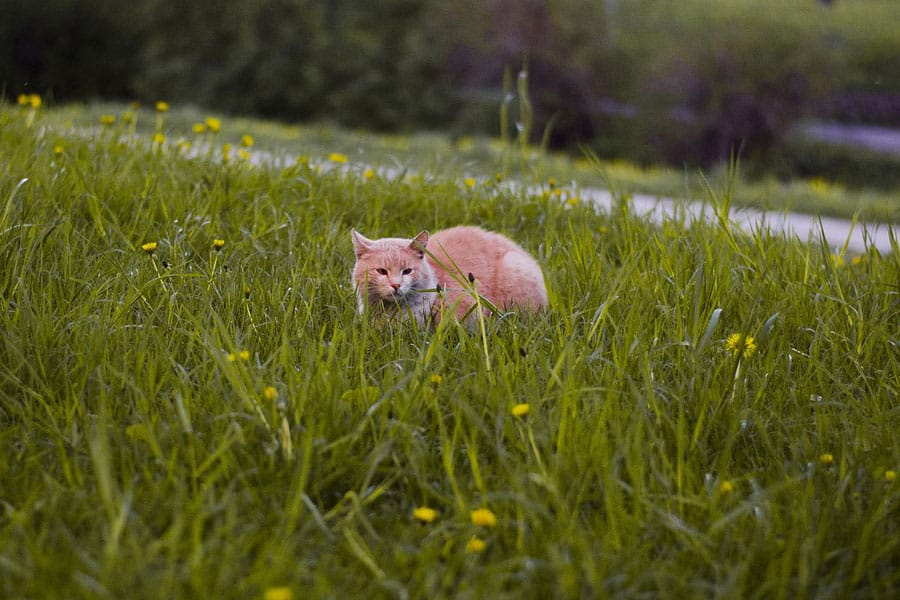cat waiting in grass