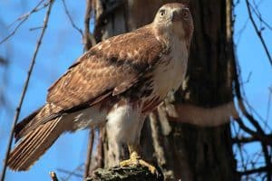 The 7 Species of Hawks in Florida (With Pictures)