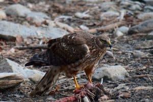 The 8 Species of Hawks in Wisconsin