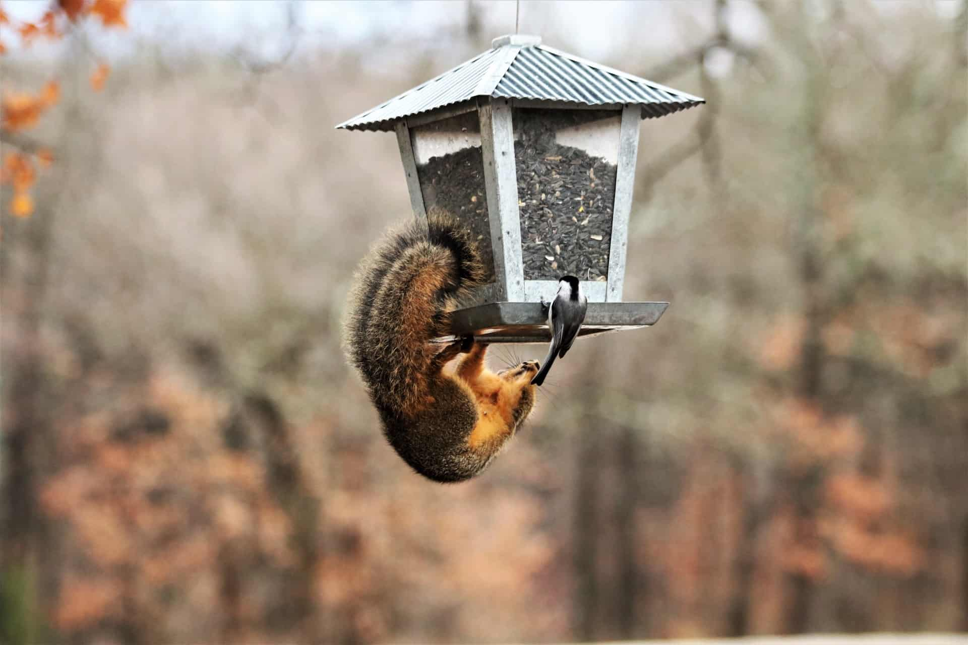 squirrel and chickadee on feeder