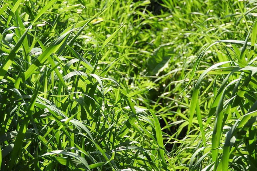 tall lawn grass