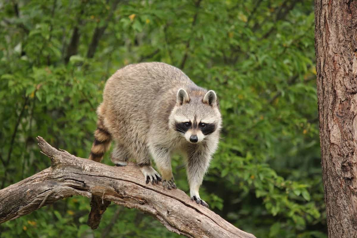 How To Get Rid Of A Possum In Your Garage how to keep raccoons, opossums and skunks away from bird