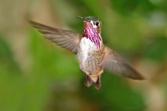Do Hummingbirds Use Bird Baths?