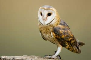 The 7 Species of Owls in Tennessee