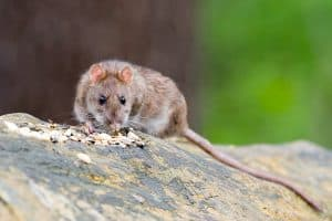 9 Tips On How to Keep Rats Away From Bird Feeders (and Mice)