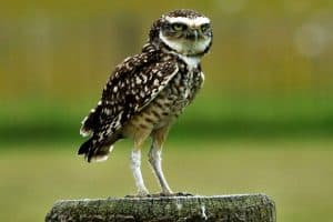 Interesting Facts About Burrowing Owls
