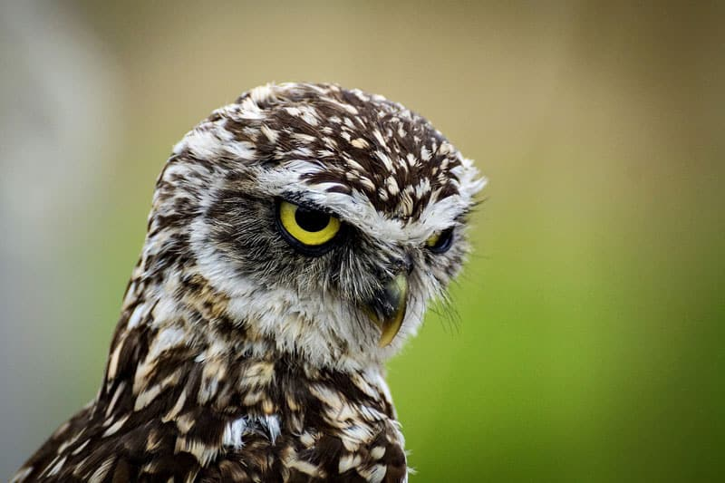 Interesting Facts About Burrowing Owls - Bird Feeder Hub