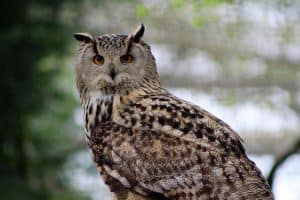 8 Species of Owls In Virginia (With Pictures)