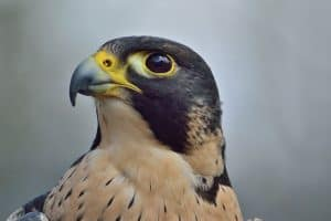 Interesting Peregrine Falcon Facts You May Not Know