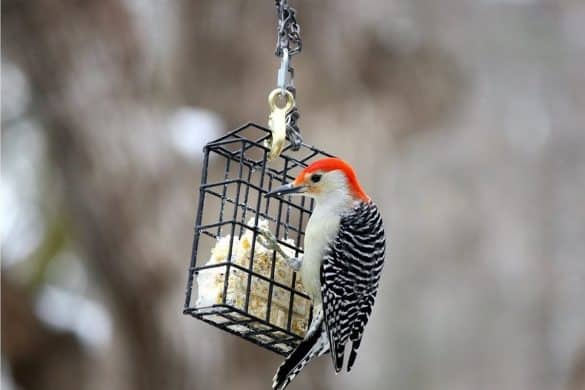 What is Bird Suet?