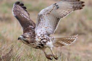 8 Species of Hawks in Pennsylvania