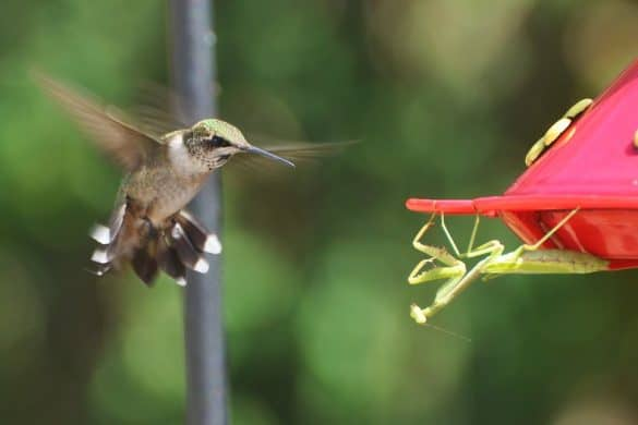 Do Hummingbirds Have Predators?