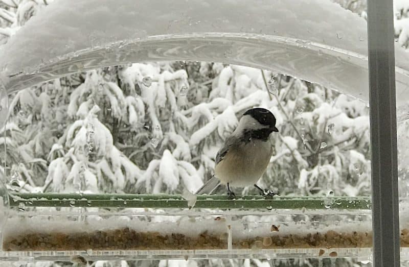 chickadee at window feeder