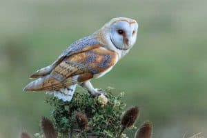 20 Cool Facts About Barn Owls