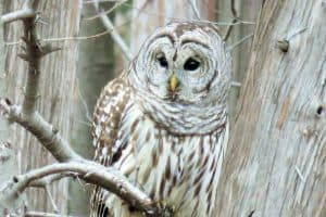 35 Quick Facts About Barred Owls