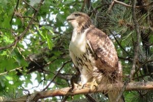 12 Interesting Facts About Broad-winged Hawks