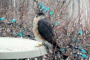 Hawks in Alaska (6 Species With Pictures)