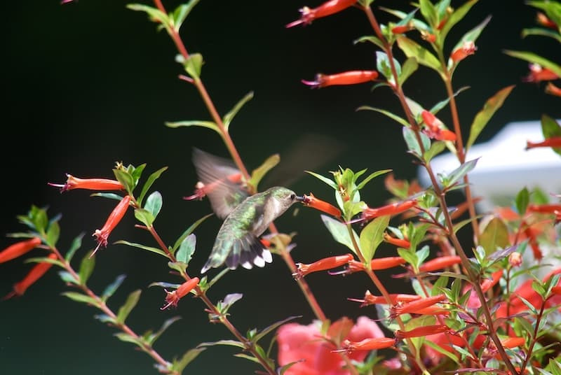 Hummingbird drinking nectar from a flower