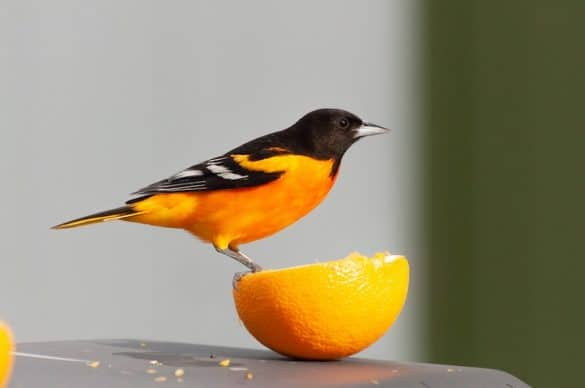 How to Attract Orioles to Your Yard (9 Helpful Tips)