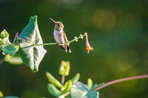 6 Hummingbirds in Pennsylvania (Common & Rare)