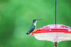 Hummingbirds in Ohio - Regular and Rare Visitors