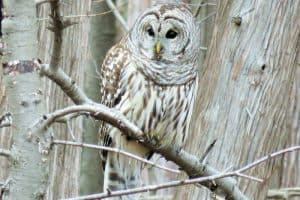 The 10 Species of Owls in Michigan