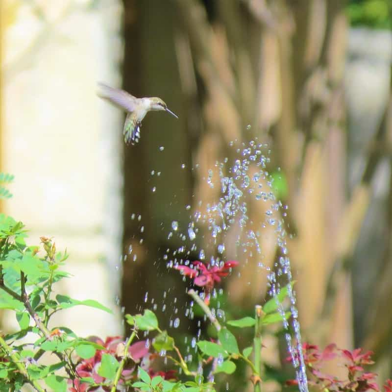 hummingbird flying over fountain spray