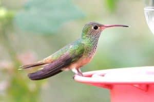 Where Do Hummingbirds Go In The Winter? (Explained)